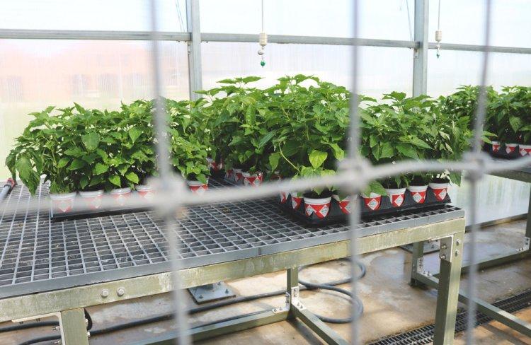 Tabasco Factory - Plants